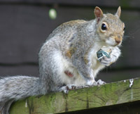 Squirrel carring metal nuts